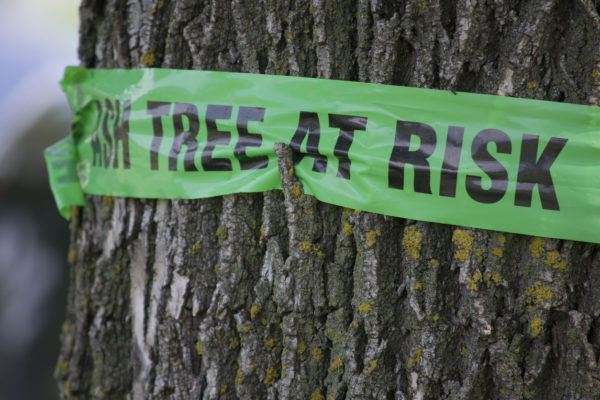 Sign wrapped around an ash tree warning of potential emerald ash borer damage